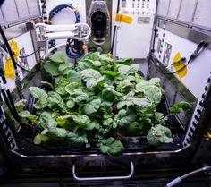 Ternyata Sayuran Ini Bisa Ditanam di Luar Angkasa, Para Astronot NASA Memakannya di Malam Tahun Baru, Rasanya?